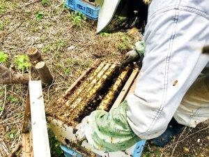 画像2: 交配用ミツバチ