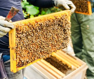 画像1: 交配用ミツバチ
